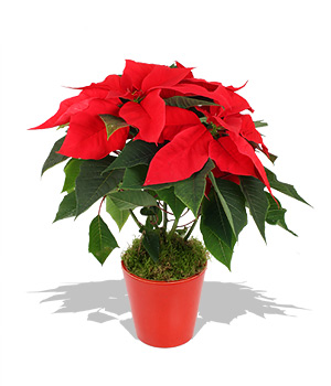 to our Customers & Friends: Poinsettia Plant